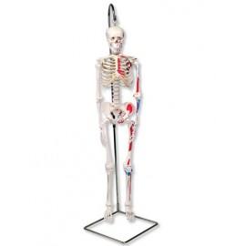 Model szkieletu człowieka Shorty A18/6